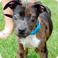 Adopt A Pet :: Nicki - Alpharetta, GA