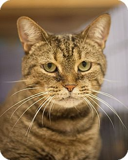 Domestic Shorthair Cat for adoption in Circleville, Ohio - Tater