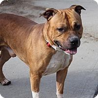 Labrador Retriever Mix Dog for adoption in Brookhaven, New York - Leo