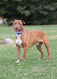 Pit Bull Terrier Mix Dog for adoption in Washoe Valley, Nevada - Nero