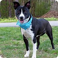 Adopt A Pet :: Dillon - Mocksville, NC