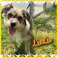 Adopt A Pet :: LuLu~~ADOPTION PENDING - Sharonville, OH