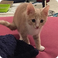 Domestic Shorthair Kitten for adoption in Herndon, Virginia - Queso