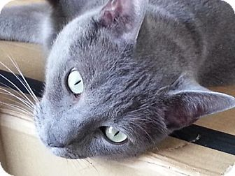 Russian Blue Cat for adoption in NYC, New York - Chaz Palmintieri