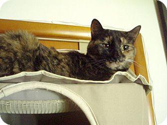 Domestic Shorthair Cat for adoption in Manhattan, Kansas - Kami - Courtesy Post
