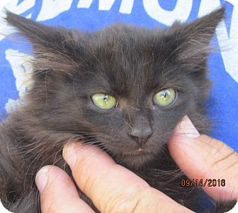 Maine Coon Kitten for adoption in Germantown, Maryland - Bobby