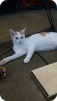 Domestic Shorthair Kitten for adoption in Warren, Michigan - Tucker