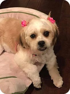 Maltese/Poodle (Miniature) Mix Dog for adoption in Spring, Texas - SuzieQ