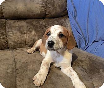 Labrador Retriever/Beagle Mix Puppy for adoption in Manchester, New Hampshire - Henry - pending
