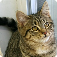 Domestic Shorthair Kitten for adoption in Republic, Washington - Sneezy VALENTINE'S SPECIAL! 50