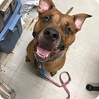 Adopt A Pet :: Nugie - Middlebury, CT