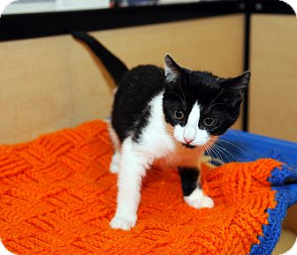 Domestic Shorthair Kitten for adoption in Farmingdale, New York - Pookie