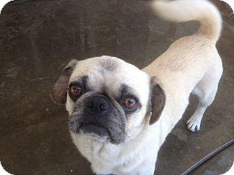 Pug Puppy for adoption in Anaheim, California - Zoey