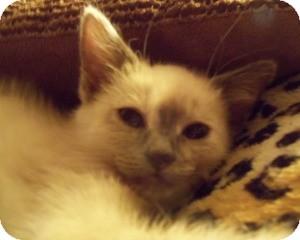 Ragdoll Kitten for adoption in Ennis, Texas - Seren
