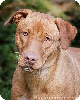 Vizsla/Labrador Retriever Mix Dog for adoption in Houston, Texas - Sally