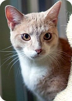 Domestic Mediumhair Cat for adoption in Alexandria, Virginia - Tangie