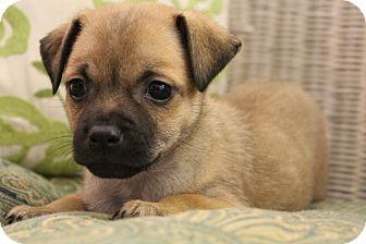 Pug/Chihuahua Mix Puppy for adoption in Hamburg, Pennsylvania - Pomona