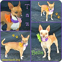 Adopt A Pet :: Taz and Bella - Plano, TX