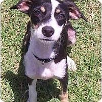 Adopt A Pet :: BOSCO - Phoenix, AZ