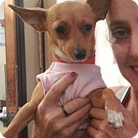 Adopt A Pet :: Stitch - Miami, FL