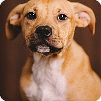 Adopt A Pet :: Meadow - Portland, OR