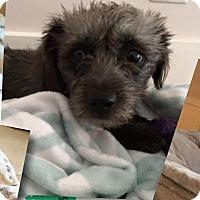 Adopt A Pet :: Trudie (Gertie) - Henderson, NV