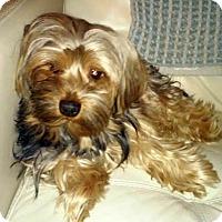 Adopt A Pet :: Remmy (Rembrandt) - Gilbert, AZ