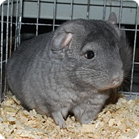 Adopt A Pet :: 4 mo sapphire wrap chinchilla - Hammond, IN