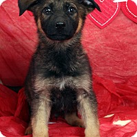 Adopt A Pet :: Drexal Shepherd - St. Louis, MO