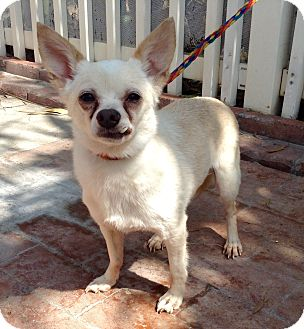 Chihuahua Mix Dog for adoption in Santa Ana, California - Krosby (LJ)