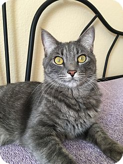 Domestic Shorthair Cat for adoption in Plano, Texas - JILL-LOOKING FOR A PERM HOME