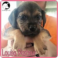 Adopt A Pet :: Louisa Pasteur - Pittsburgh, PA