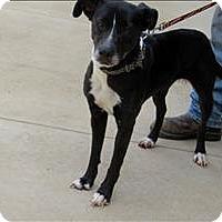 Labrador Retriever/Border Collie Mix Dog for adoption in Indiana, Pennsylvania - Keasha