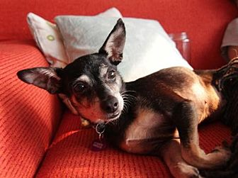 Chihuahua Mix Dog for adoption in Los Angeles, California - Mimi