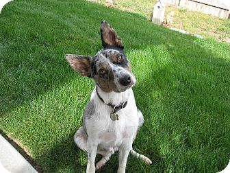 Australian Cattle Dog/Border Collie Mix Dog for adoption in Nampa, Idaho - JOE **adoption pending!**