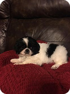 Japanese Chin Mix Puppy for adoption in Fairview Heights, Illinois - Ren and Karu
