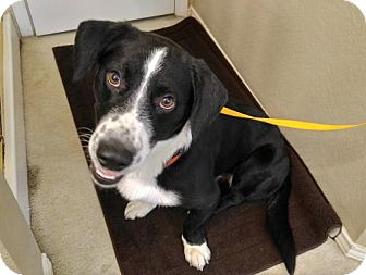 Basset Hound/Border Collie Mix Dog for adoption in McKinney, Texas - Howard