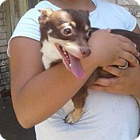 Chihuahua/Dachshund Mix Dog for adoption in Verona, New Jersey - Cocoa: courtesy listing