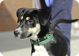 Shepherd (Unknown Type) Mix Puppy for adoption in Alpharetta, Georgia - Dexter