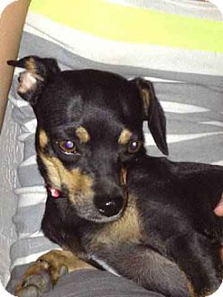 Chihuahua/Miniature Pinscher Mix Dog for adoption in Glendale, Arizona - Friday