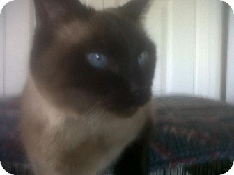 Siamese Cat for adoption in Fairborn, Ohio - Itty Bitty