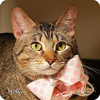 Domestic Shorthair Cat for adoption in Kerrville, Texas - Molly