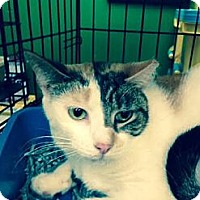 Calico Cat for adoption in Ortonville, Michigan - Callie