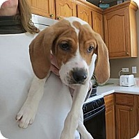 Adopt A Pet :: Pierce - Novi, MI