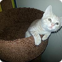 Adopt A Pet :: Meowth - Cranford/Rartian, NJ