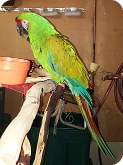 Macaw for adoption in Shawnee Mission, Kansas - Jabbers