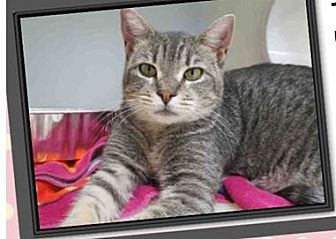 Egyptian Mau Cat for adoption in Cerritos, California - Tawny