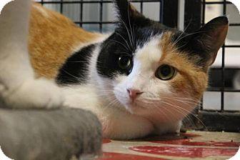 Domestic Shorthair Cat for adoption in Hamilton, Ontario - Judith