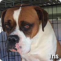 Adopt A Pet :: Yris - Encino, CA