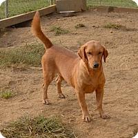 Adopt A Pet :: Sadie Rose - Charlemont, MA